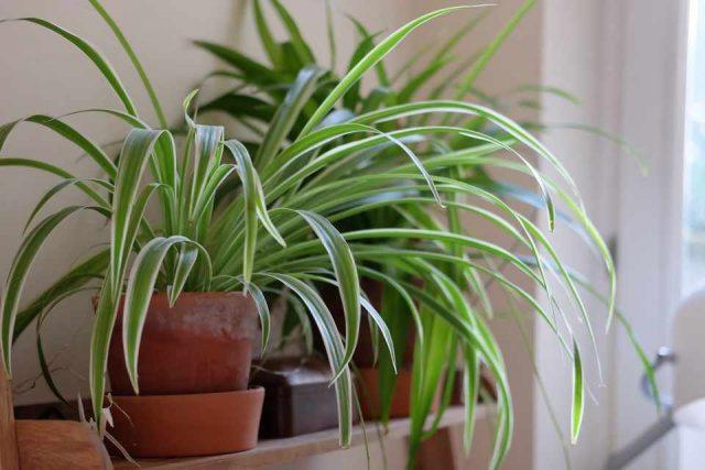 Хлорофитум способен расти и на ярком рассеянном освещении, и в полутени любой интенсивности