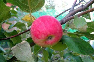 Яблоня «Мантет»