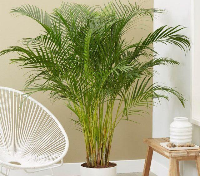 Зимой нужно особенно тщательно следить за чистотой листьев комнатной пальмы