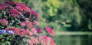 Кустовые очитники — звезды осеннего цветника