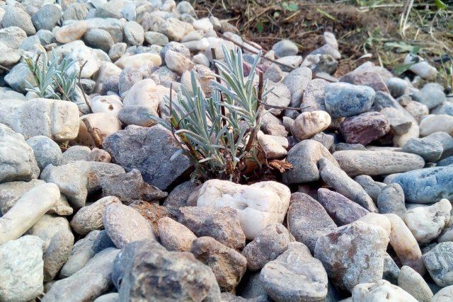 Считается, что осенью черенки лаванды лучше укореняются