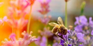 Лучшие однолетние растения-медоносы