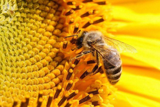 Пчела на подсолнечнике