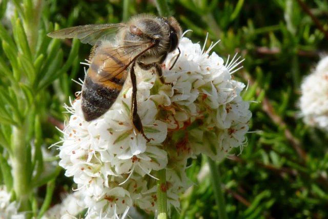 Пчела на соцветии гречихи