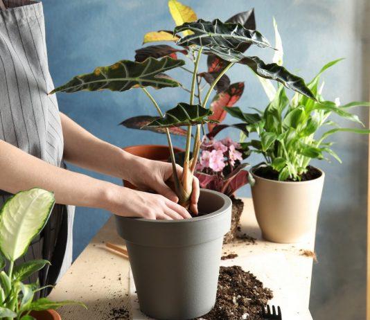 Можно ли пересаживать комнатные растения осенью?