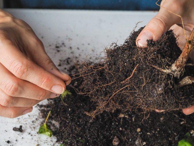 Если осеннюю пересадку проводят по причине заражения почвы, её аккуратно снимают или смывают в теплой чистой воде