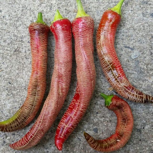 Перец «Гравированный Македонский» отличается от других сортов наличием на плодах большого количества продольных полос-трещинок