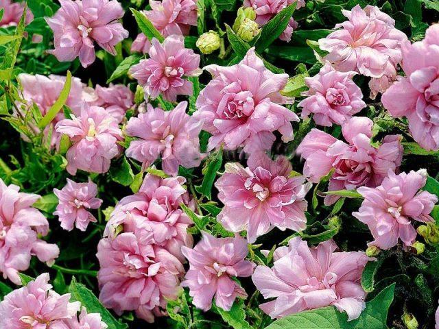 Калистегия пушистая (Calystegia pubescens), махровая форма