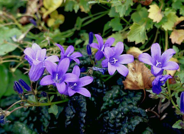 Колокольчик Портеншлага (Campanula portenschlagiana)