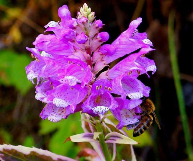 Физостегия «Вариегата» (Physostegia variegata)