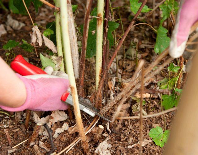 Садовую малину я обрезаю после плодоношения