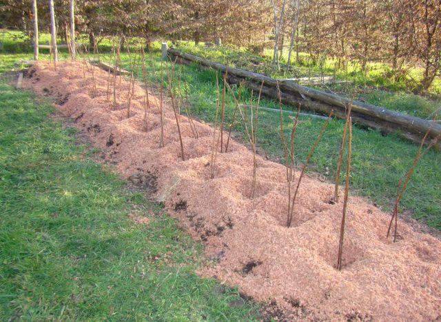 На зиму малину полезно замульчировать органикой