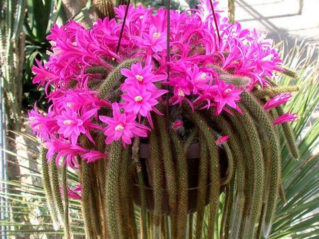 Дизокактус плетевидный (Disocactus flagelliformis)