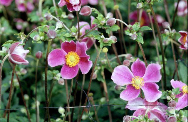 Анемона японская (Anemone hupehensis var. japonica)