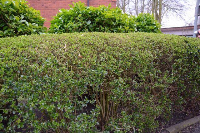 Бирючина овальнолистная (Ligustrum ovalifolium)