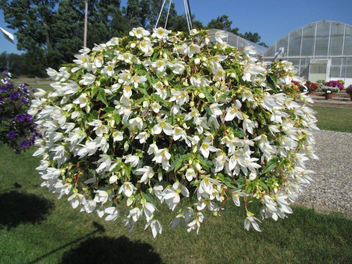 Begonia-Beauvilia-White-1