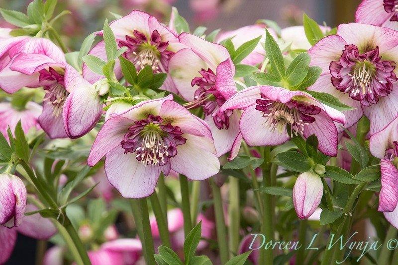 Helleborus-Cherry-Blossom-1