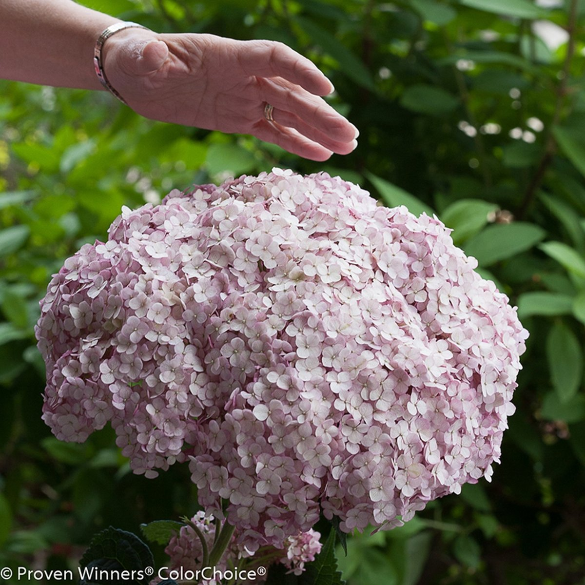 Hydrangea-arborescens-Incrediball-Blush-0