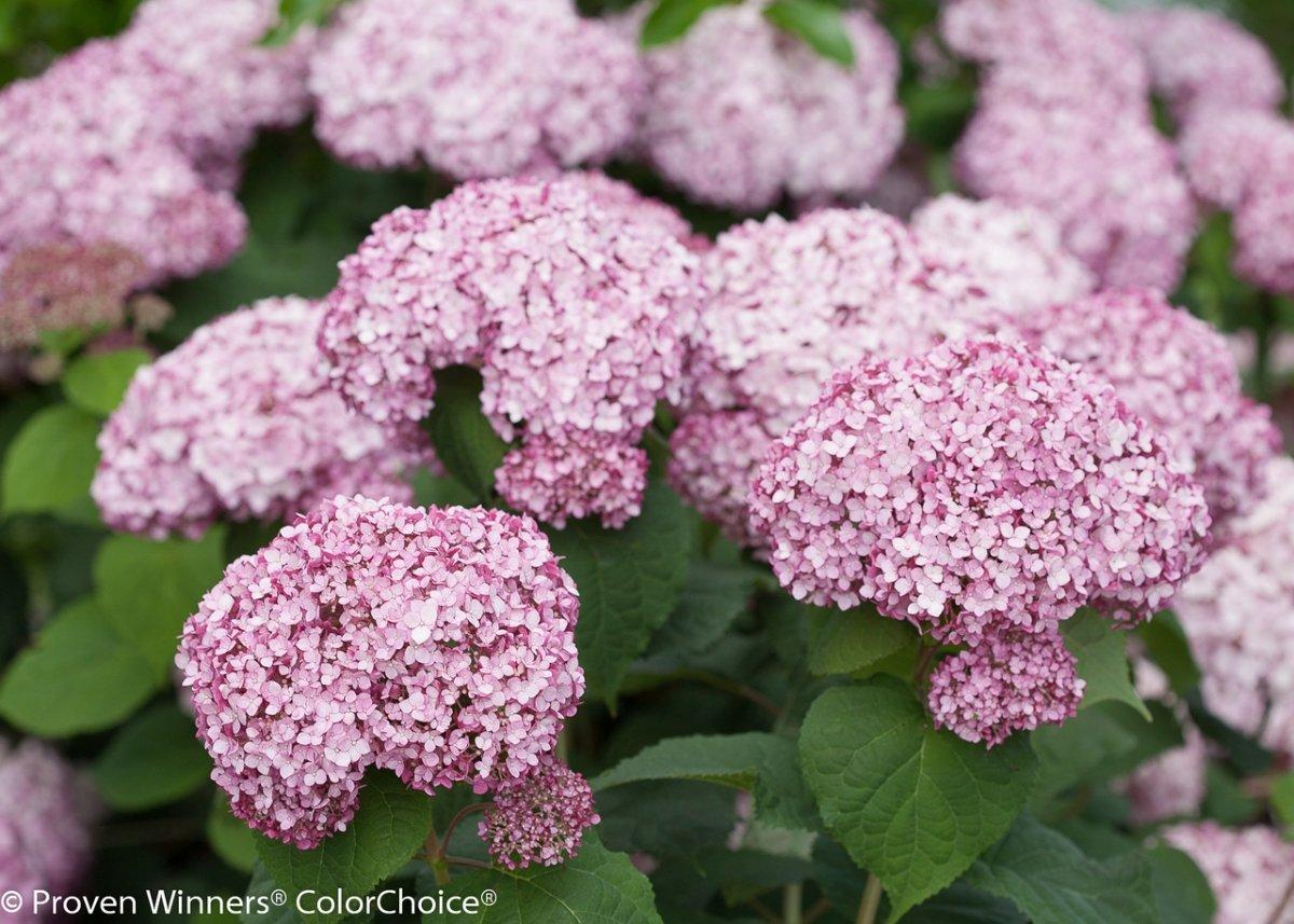 Hydrangea-arborescens-Incrediball-Blush-1