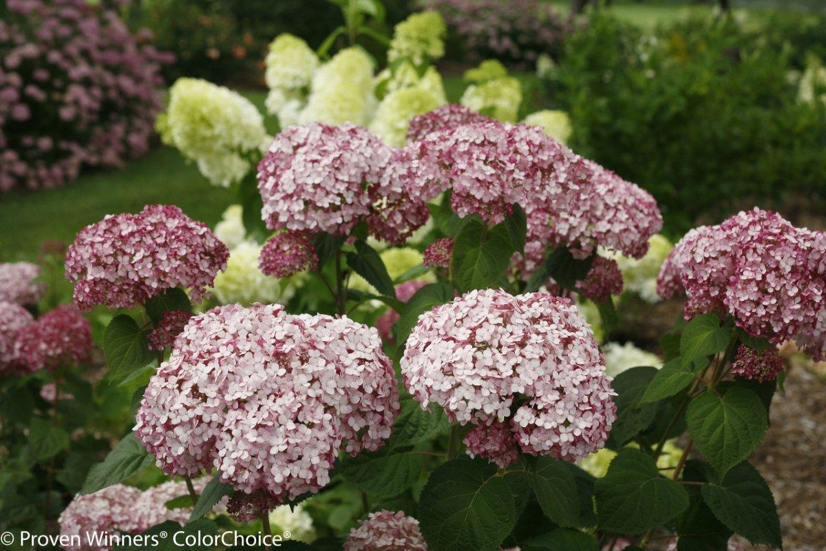 Hydrangea-arborescens-Incrediball-Blush-2