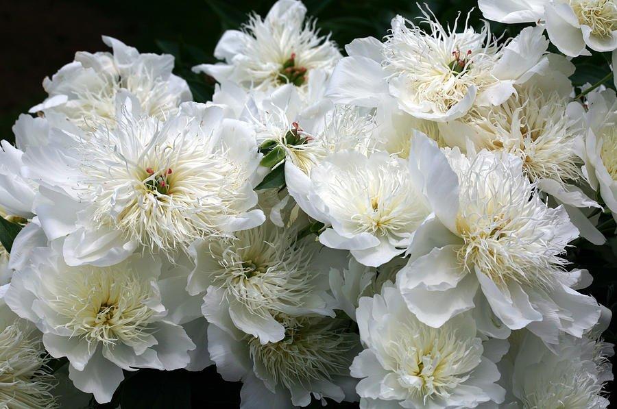 Paeonia-lactiflora-Brides-Dream-1