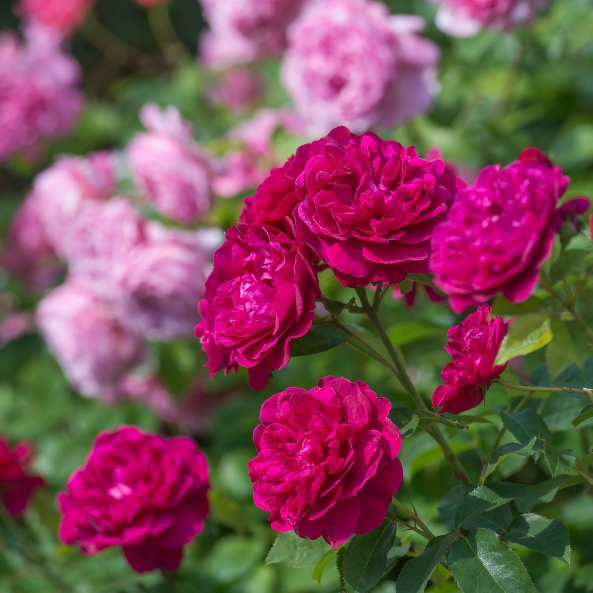Rosa-Darcey-Bussell-3