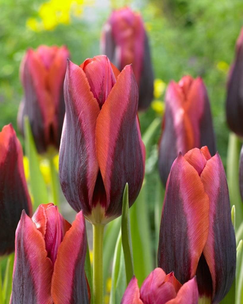 Tulipa-Slawa-0