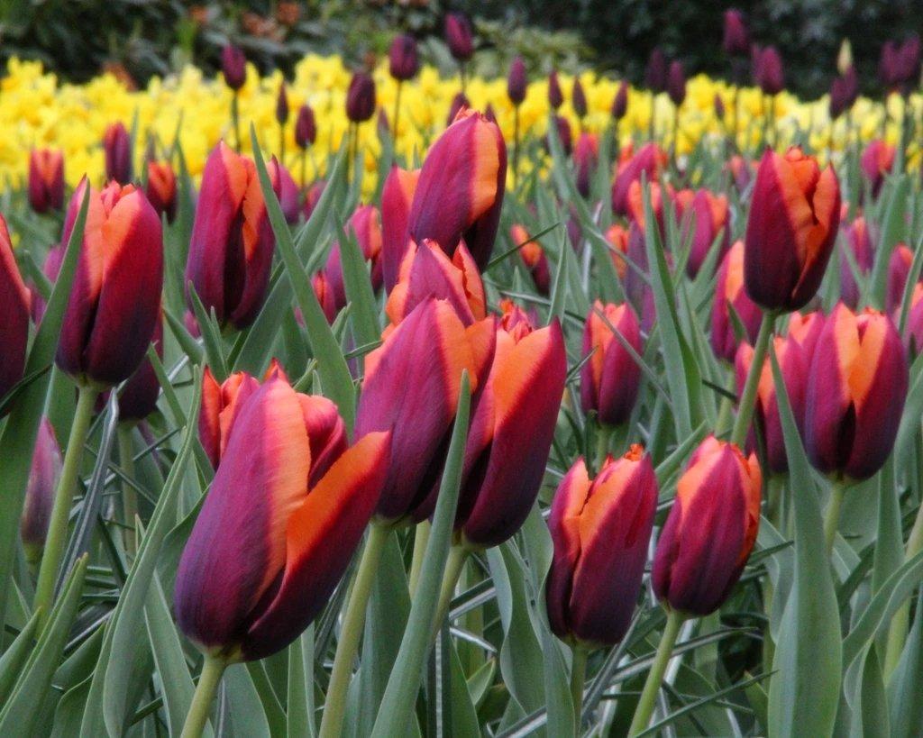 Tulipa-Slawa-1