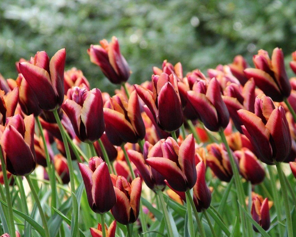 Tulipa-Slawa-2
