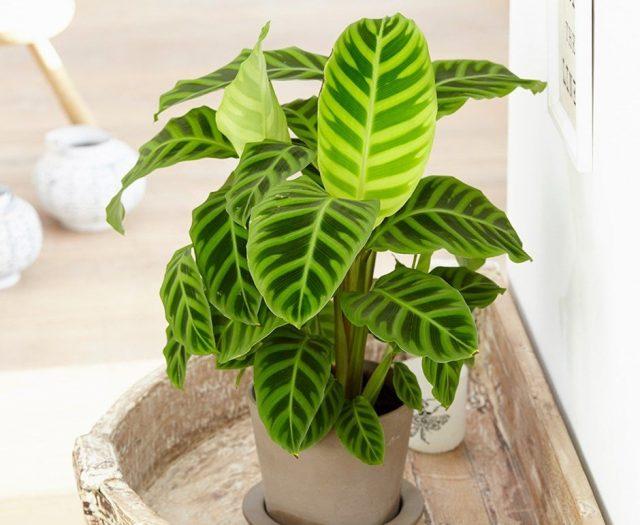 Чаще всего в комнатах выращивают калатею полосатую (Calathea zebrina)