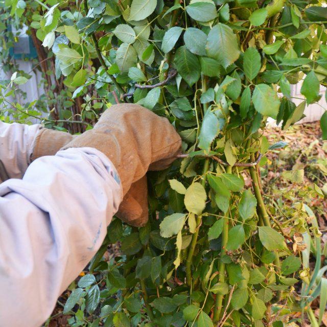 Создавать укрытие сразу же не рекомендуется ни для одного растения — укрытие роз часто растягивают более чем на месяц