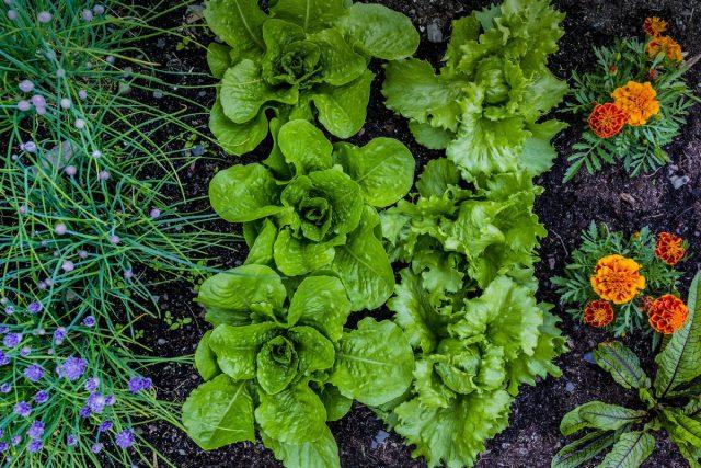 Бархатцы — отличные соседи практически для любого растения