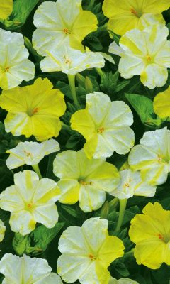 Мирабилис «Фантазер» бело-жёлтой окраски
