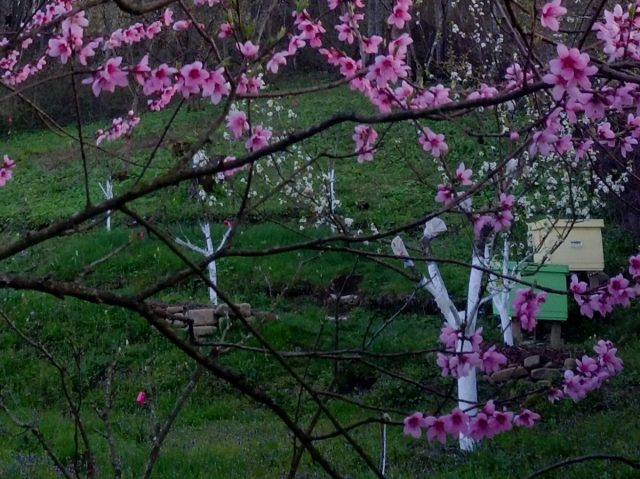Всё цветёт, а пчёл нет