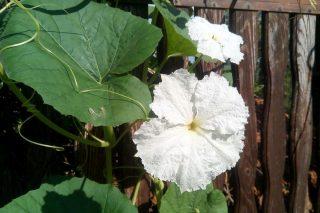 Лагенария даже без плодов очень симпатично выглядит, имеет густую обильную зелень и белые цветы