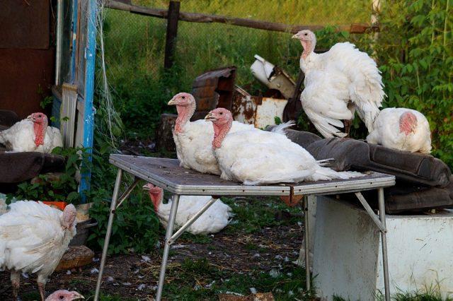 К вечеру индюки начинают искать местечко повыше