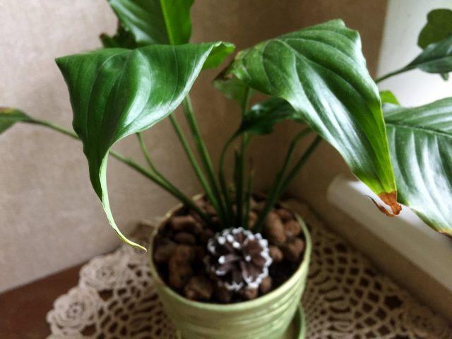 Высыханием кончиков листьев спатифиллум реагирует на экстремально сухой воздух