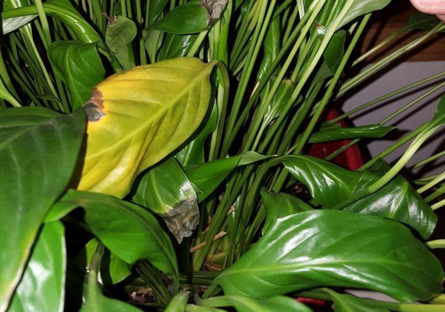 Если листья спатифиллума желтеют — это признак системных нарушений
