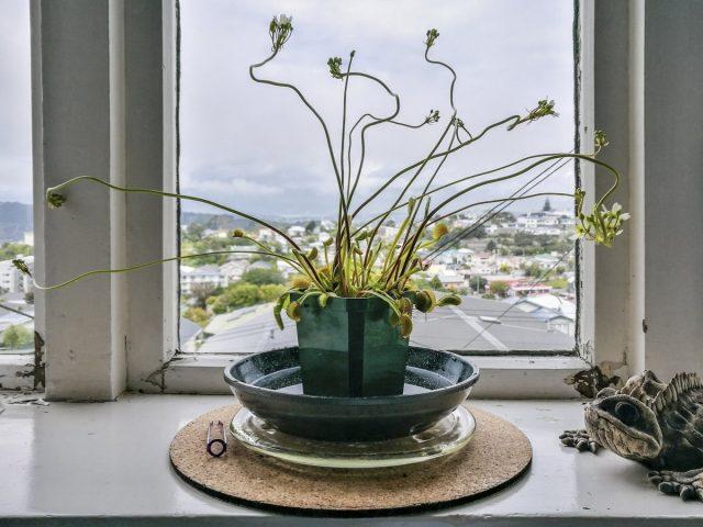 Цветение венериной мухоловки (Dionaea muscipula) неожиданно красивое