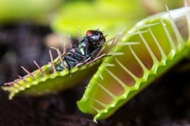 Питаются венерины мухоловки муравьями, жуками, пауками, кузнечиками и летающими насекомыми