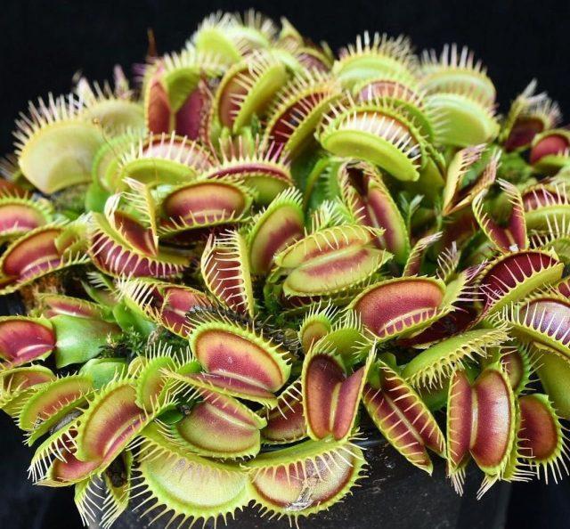 Подкормка венериной мухоловки червями, слизнями, а тем более мясом и другими продуктами недопустима