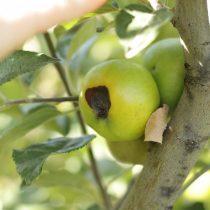 Черная гниль яблока на дереве