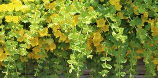 5 лучших декоративно-лиственных ампелей для озеленения балконов и террас