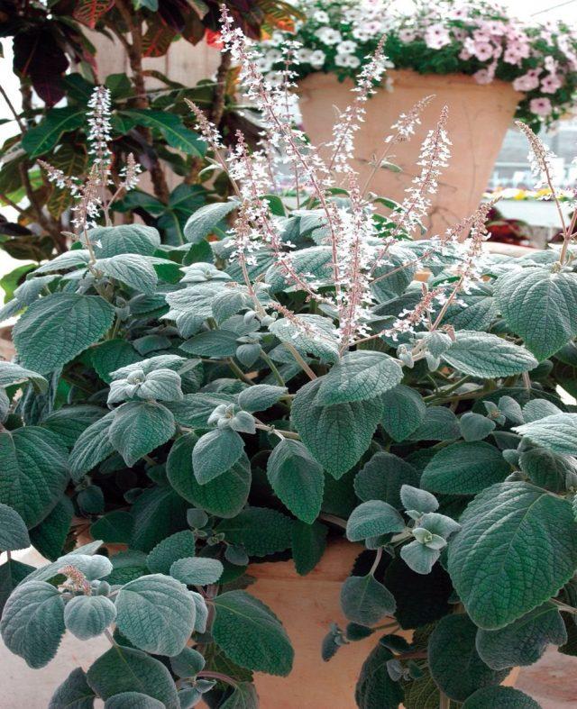 Плектрантус (Plectranthus) Silver Shield