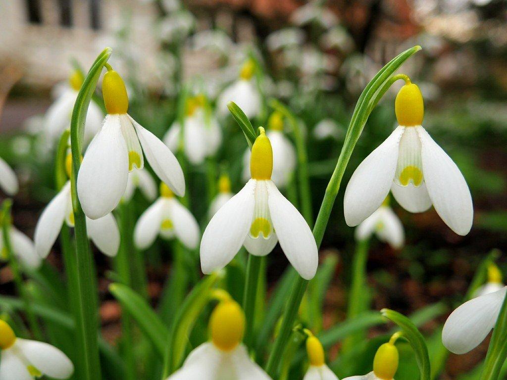 Galanthus-plicatus-Wendys-Gold-2