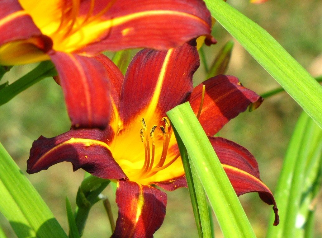 Hemerocallis-Marse-Connell-1