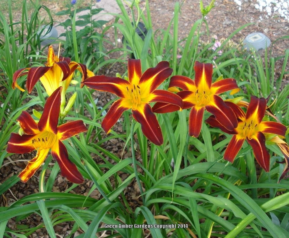 Hemerocallis-Marse-Connell-3