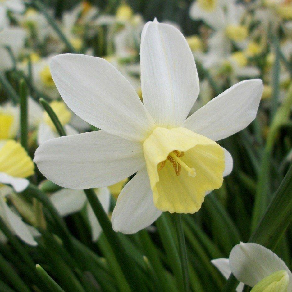 Narcissus-Sailboat-1