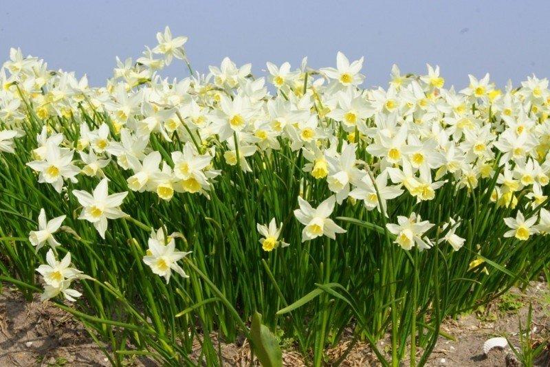 Narcissus-Sailboat-2
