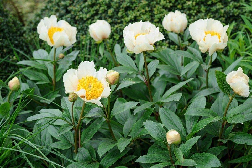 Paeonia-lactiflora-Claire-de-Lune-2